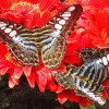 Thumbnail image for Butterflies are free at the Singapore airport