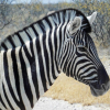 Thumbnail image for Pictures of zebras at Etosha National park