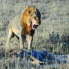 Thumbnail image for We avoid getting eaten by a lion in Namibia
