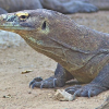 Thumbnail image for Facing deadly komodo dragons in Indonesia