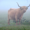 Thumbnail image for Our encounter with killer cows in England