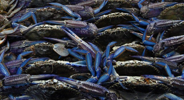 blue crabs at sydney fish market