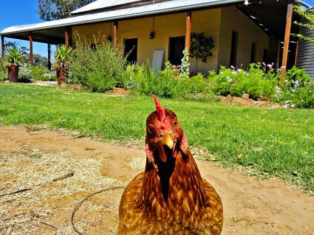 Australia chook chicken