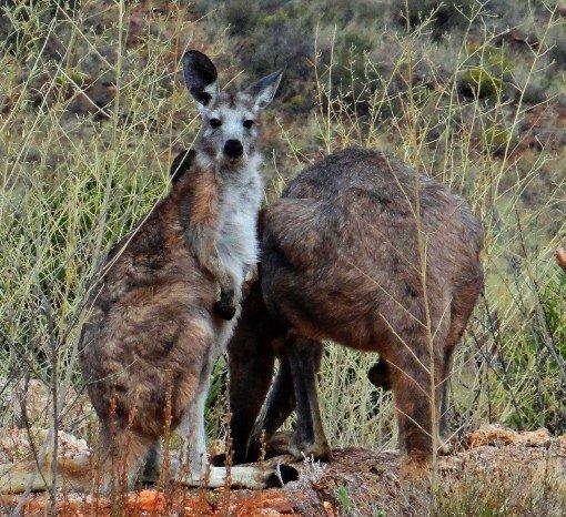 Australia Outback kangaroos