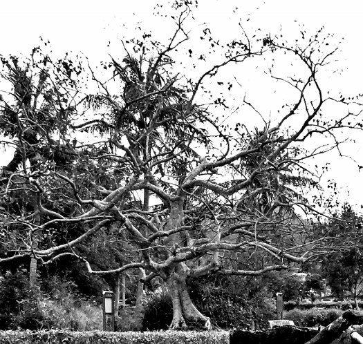 My Lai tree