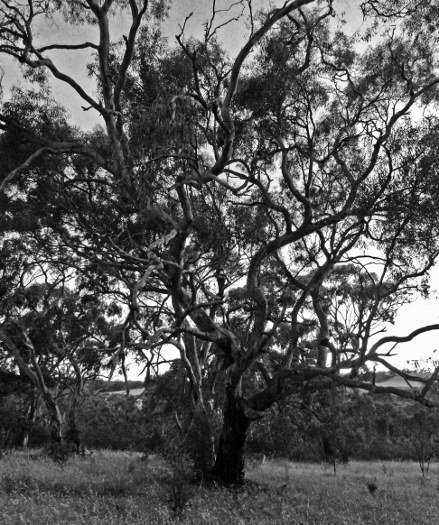 Pictures of trees Clare Valley sunset (439x525)