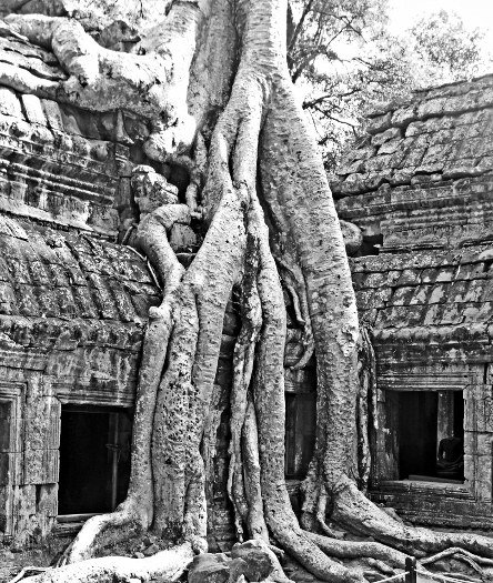 Pictures of trees at Ta Prohm Angkor Wat Lara Croft (444x525)