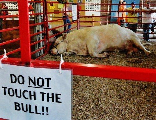 Iowa state fair bull