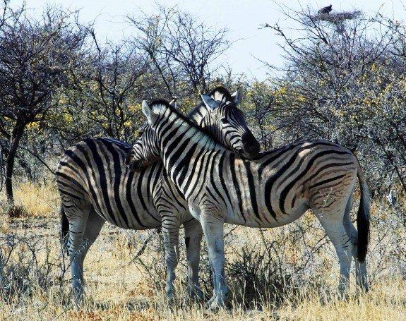 Photos of zebras Etosha Namibia