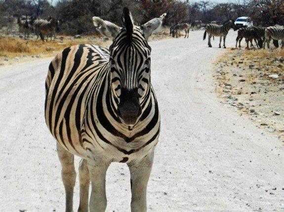 Pictures of zebras Etosha Namibia
