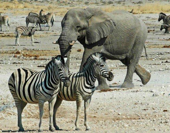 Pictures of zebras Etosha Namibia elephant