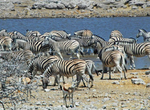 Zebras at Etosha pack at waterhole