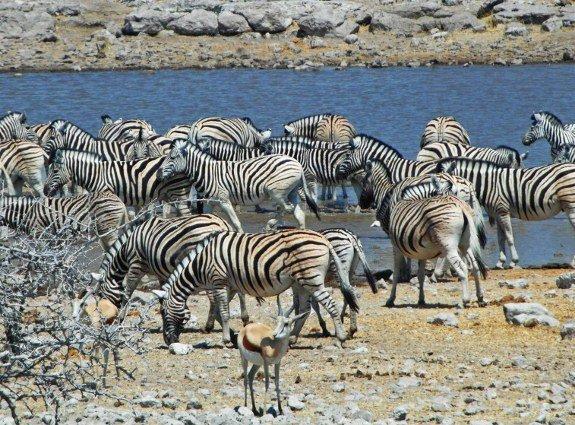 Zebras at Etosha pack at waterhole