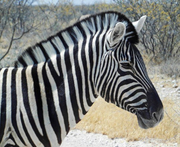 Pictures of zebras at Etosha National Park