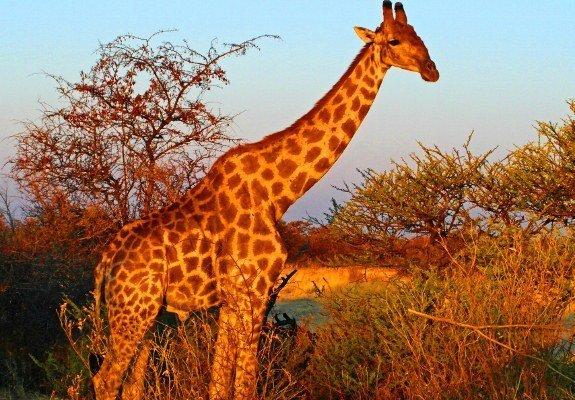 Etosha giraffe sunset