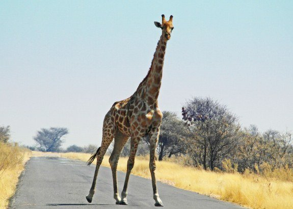 Etosha national Park giraffe walking across road