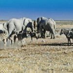 elephants and zebras at waterhole Etosha