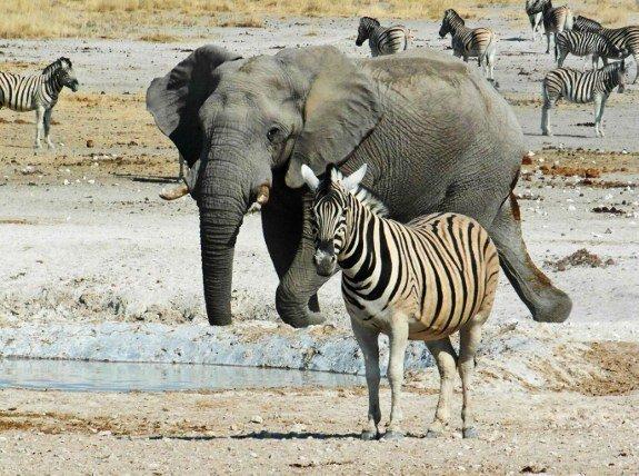 Zebra Namibia Etosha National Park waterhole