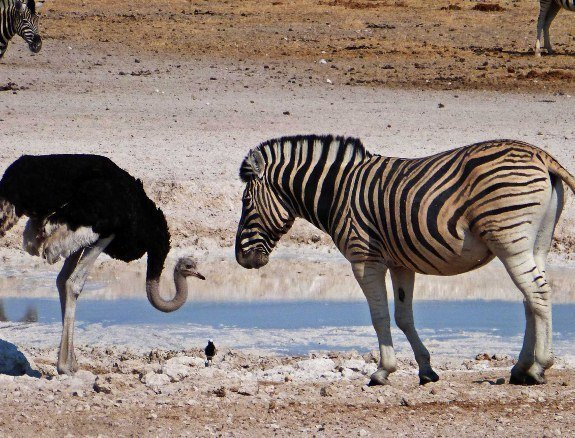 Wild animals of Namibia ostrich zebra