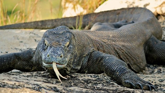 komodo dragon tongue sticking out