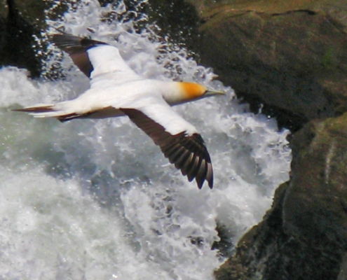 auckland, bird flying over