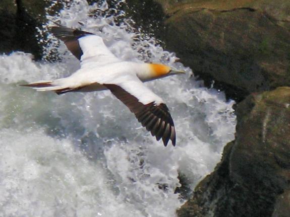 gannet bird new zealand