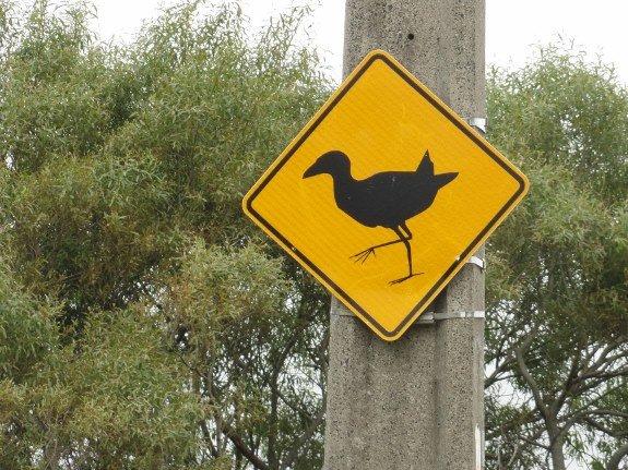 New Zealand bird (575x431)
