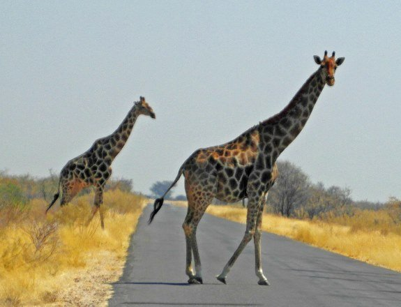 wild animals Africa two giraffes crossing road (575x440)