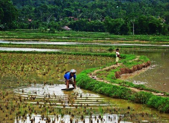 tana toraja rice paddies