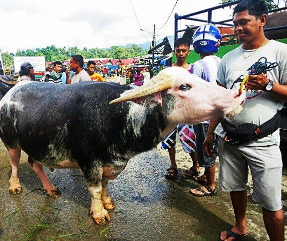 rantepao water buffalo market tana toraja