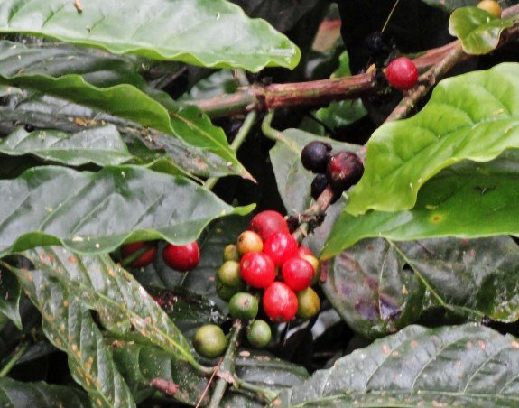 coffee plant indonesia