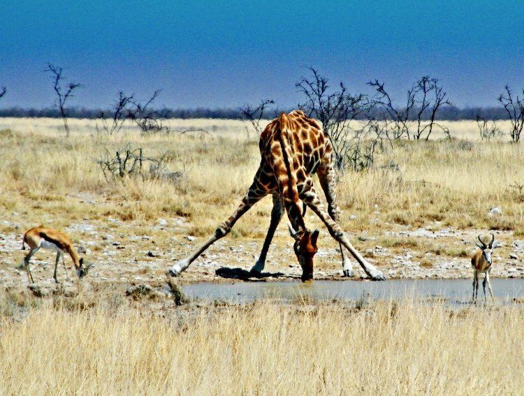 Etosha Natiional Park Namibia giraffe drinking water (750x567)