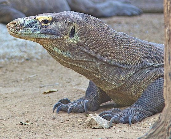komodo dragons of indonesia