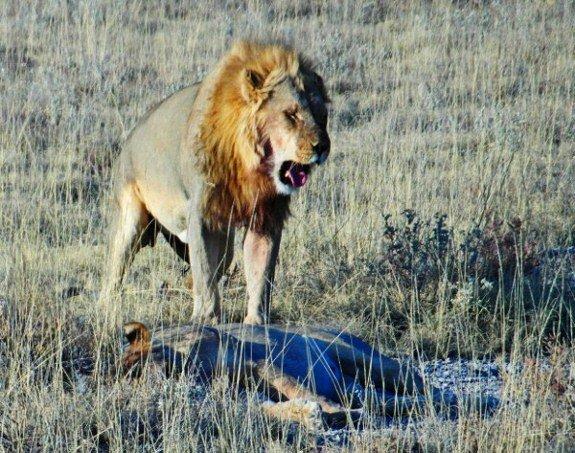 Lion Etosha National Park namibia