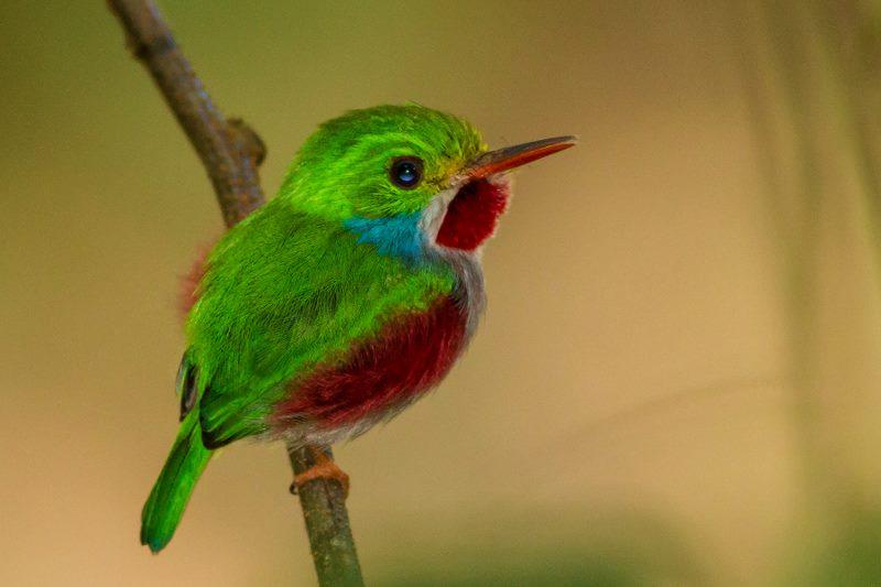 cuba tody bird (800x533)