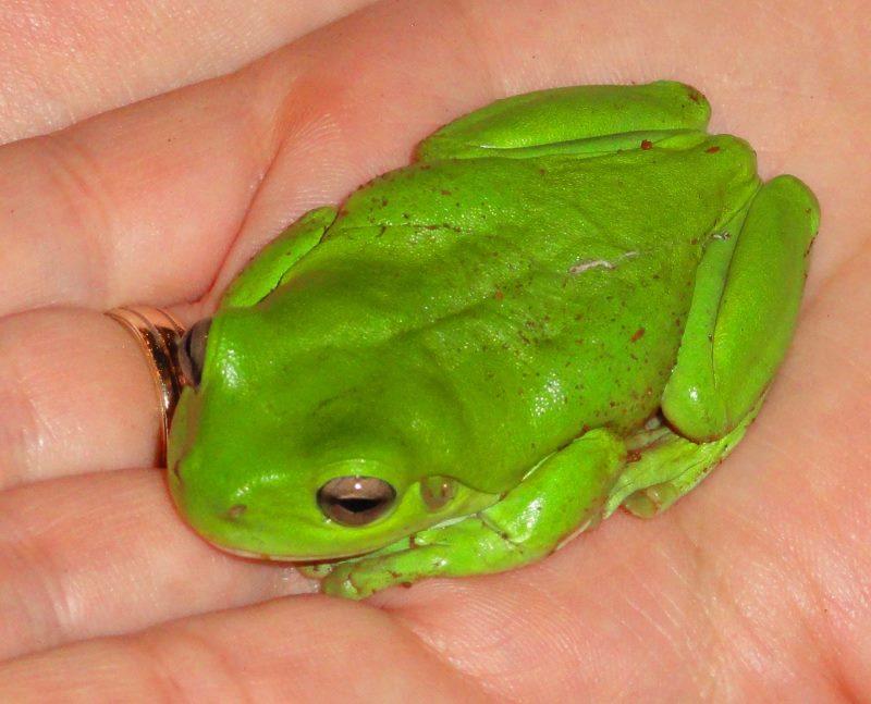 Belar frog (800x647)