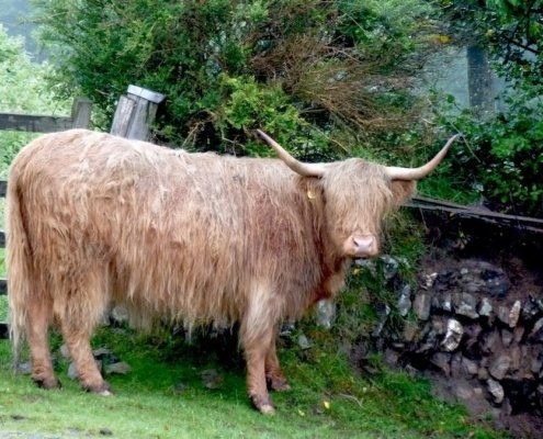 highland cow (shaggy with big horns) in Devon, England