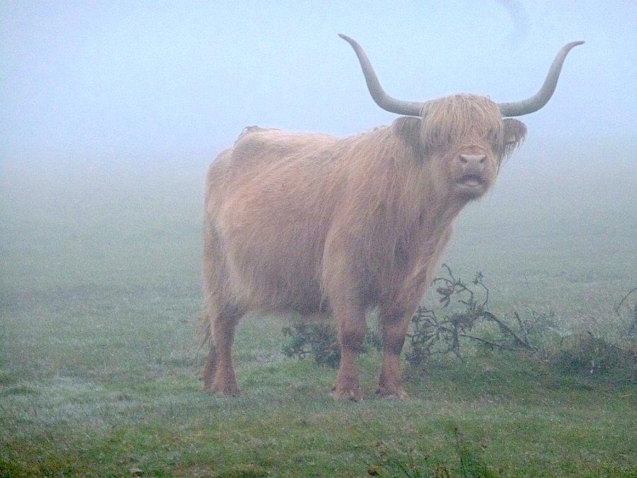 Longhorn bull in England