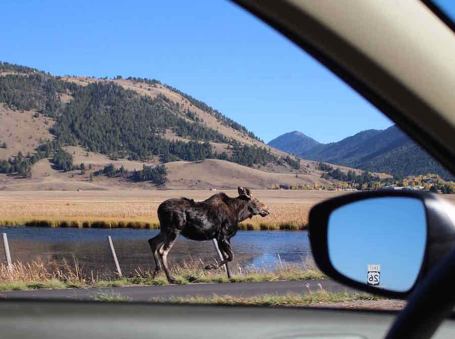 Moose walking in jackson Wyoming