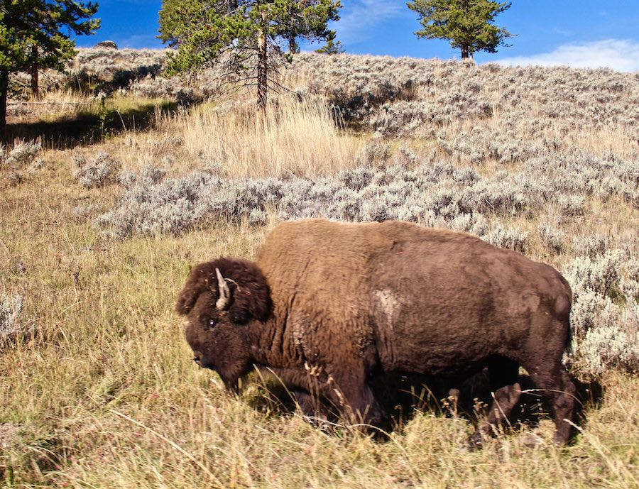 Yellowstone Park buffalo closeup