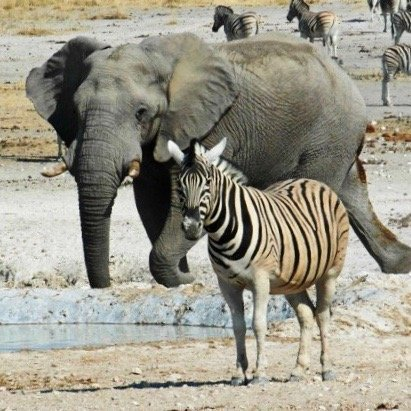 Elephant and zebra in Namibia